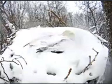 PHOTO: A bald eagle, covered by snow, could be seen on a webcam sheltering its eggs from the elements at Codorus State Park in Pennsylvania, March 5, 2015.