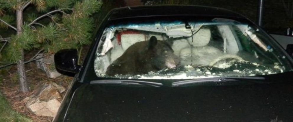 PHOTO: A black bear is seen inside a car in Douglas County, Co., Oct. 6, 2014.