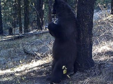 PHOTO: Video recorded Sept. 21, 2014 in Okanogan County, Wash. shows a black bear scratching its back against a tree.