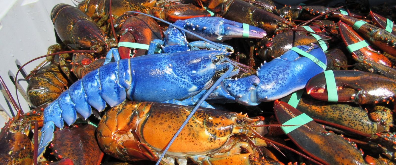 PHOTO: Massachusetts lobsterman, Wayne Nickerson, caught a 2-pound blue lobster off the coast of Cape Cod.