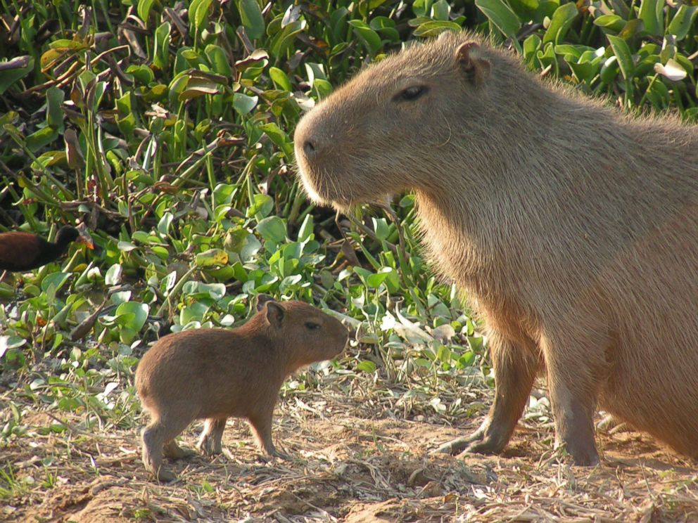 Capybaras, Giant Rodents Native to South America, Could ...