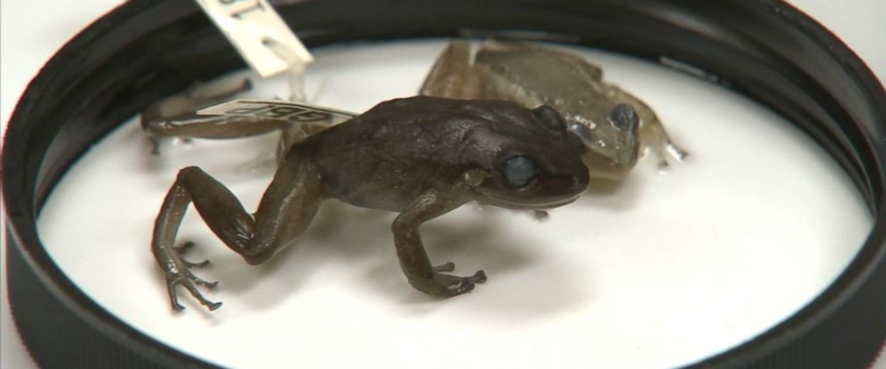 PHOTO:The coqui frogs mating call is so loud that people have thought it to be a bird, radio and even house alarm.