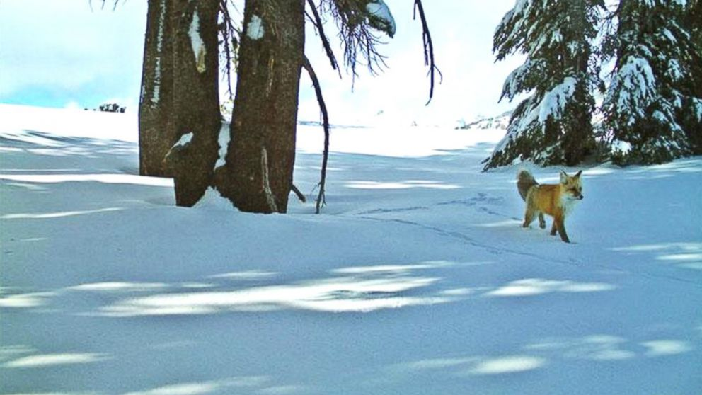 PHOTO: A Sierra Nevada red fox was spotted on a motion-sensitive camera in Yosemite National Park, Dec. 13, 2014.