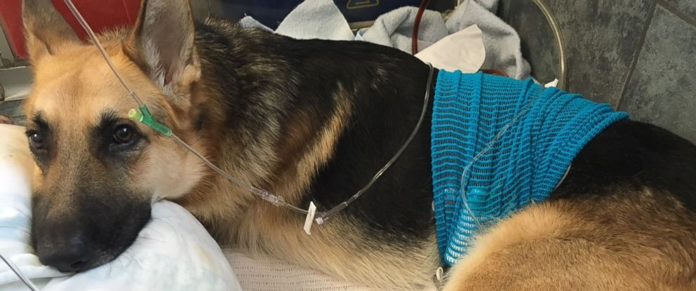 PHOTO: Haus was transported to his family vet after an overnight stay at an emergency vet the day after he was bitten three times by a rattlesnake.
