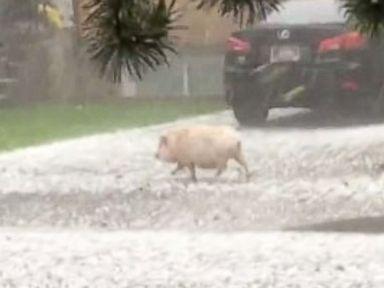 This Little Piggy Ran Down the Block in Fierce Montana Hailstorm