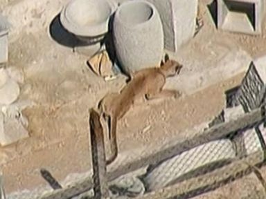 Mountain Lion Captured After Jumping on Mechanic Opening up Shop
