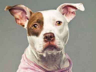 Photos: Pit Bulls Show Their Softer Side