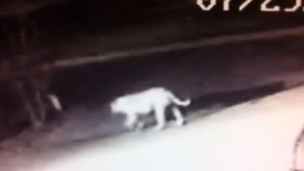PHOTO: Surveillance video in Norwalk, California shows a mystery animal roaming the streets.