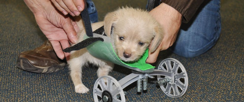 PHOTO: Tumbles, the two-legged puppy, was given a 3-D printed wheel cart by the Ohio University Innovation Center last week.