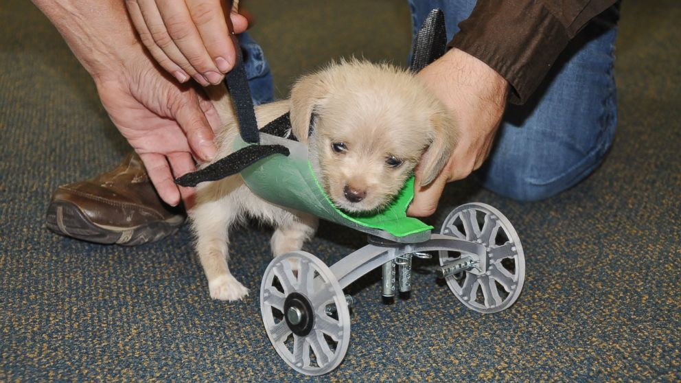 Two-Legged Shelter Puppy Gets Set of 3-D Printed Wheels ...