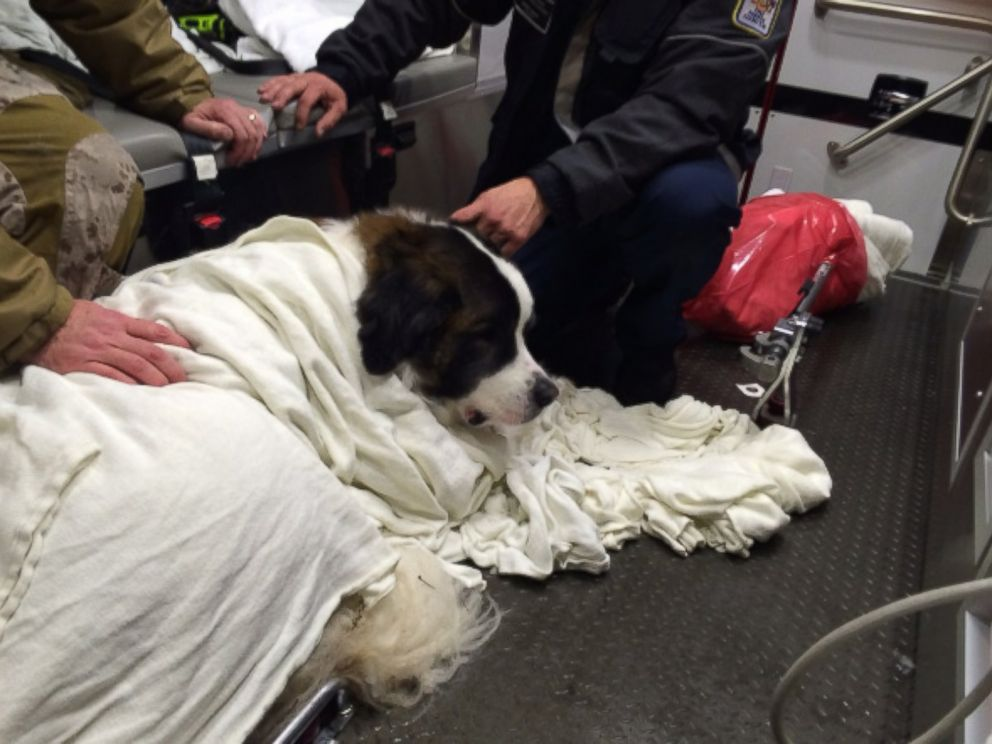 PHOTO: This photo from Fairfax County Fire and Rescue Department shows a Saint Bernard who was rescued after falling into ice in Woodglen Lake in Virginia on Friday January 22, 2016.