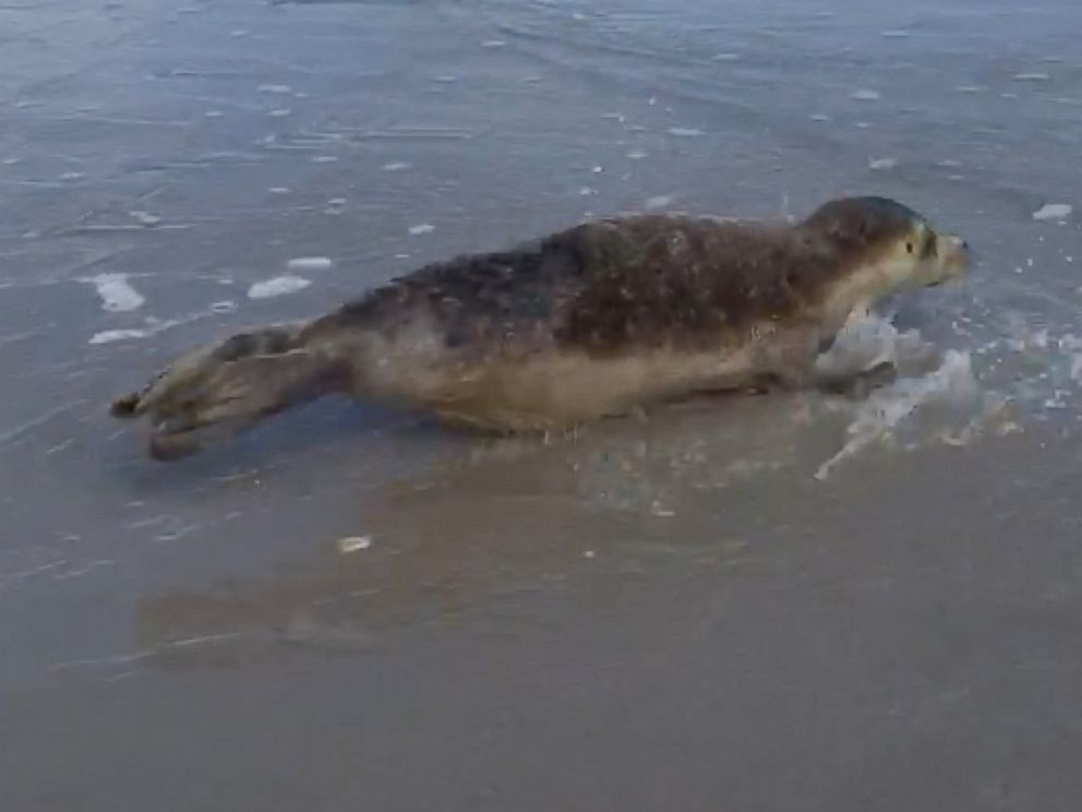 PHOTO: A seal, likely from the New England area, was spotted on Lea Island in Hempstead, North Carolina, Feb. 17, 2016.