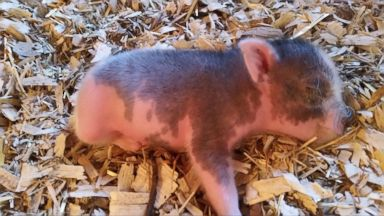 PHOTO: Three weeks ago a piglet named Miracle was born with only two legs that worked properly.