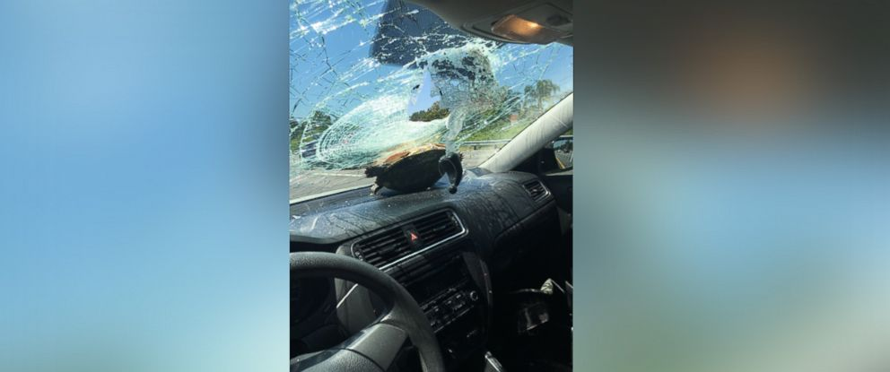 PHOTO: Turtle crashes into Fla. windshield.