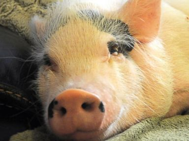 Florida Family Fights to Keep Potbellied Pet Pig