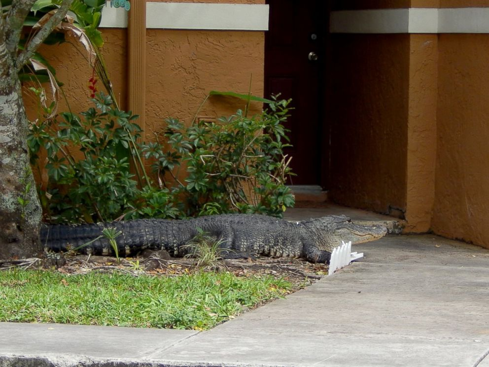 PHOTO: A Miami man said he and his dog had a close call with an eight-foot alligator after it found its way to the front door of his apartment, June 3, 2015, in Miami.