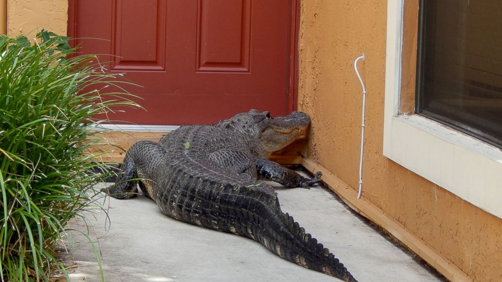 Front Door Step miami man and dog find giant alligator on front doorstep - abc news