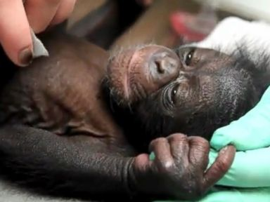 PHOTO: Baby chimpanzee Keeva, who was born at The Maryland Zoo in Baltimore in March of 2015, is pictured here.