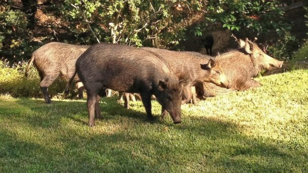 HT backyard pigs sr 131024 16x9 608 Wild Pigs Ravage Golf Course, Neighborhood