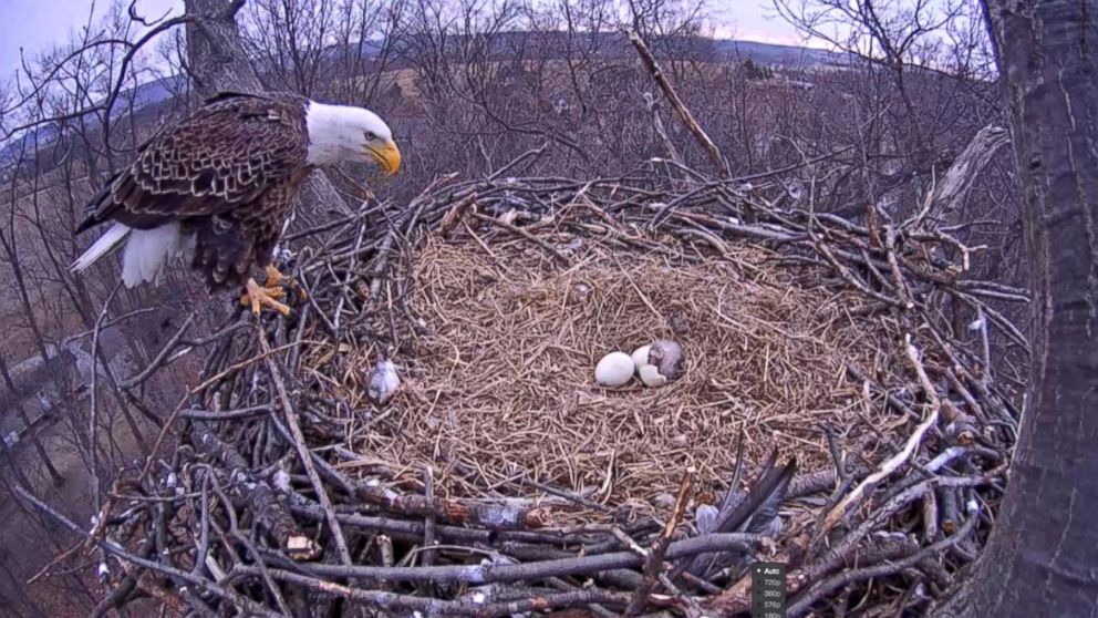 Bald eagle nest with eggs - photo#11
