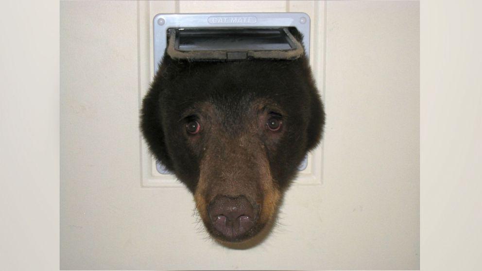 Bear Pokes Its Head Through Cat Door in Latest Break-In at Idaho Home - ABC News & Bear Pokes Its Head Through Cat Door in Latest Break-In at Idaho ... Pezcame.Com