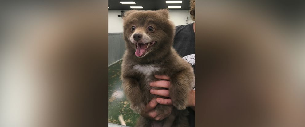 """PHOTO: Bounce, a Pomerian-mix dog, has taken the Internet by storm after a photo of her was posted to Reddit with the caption, """"Somebody brought this bear into doggie day care"""" on Dec. 29, 2015."""