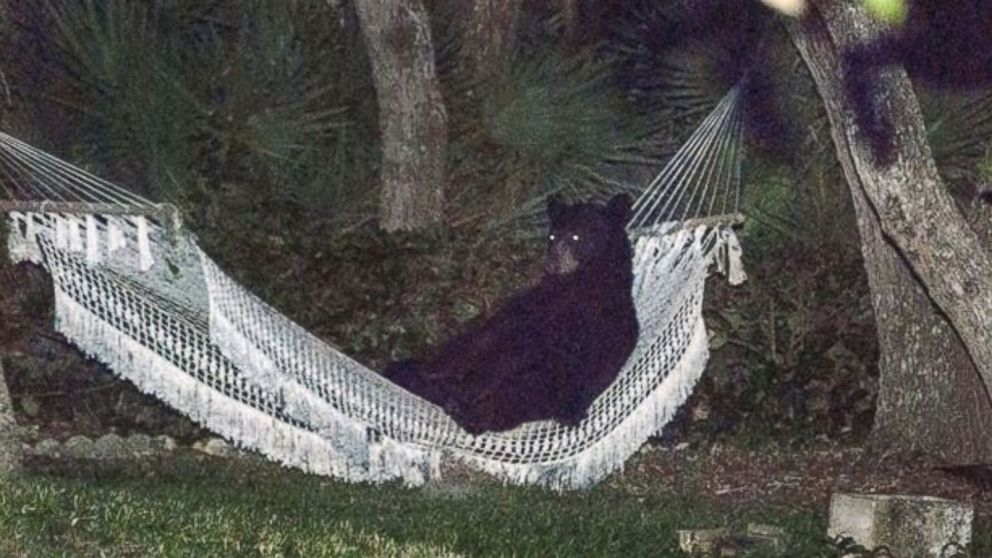 PHOTO: After making its way through a Daytona Beach neighborhood Thursday, May 29, 2014, a black bear took a moment to rest on a hammock before ambling back into the woods.