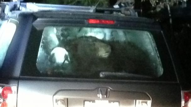 HT bear stuck in car jt 131017 16x9 608 California Bears Break Into Cars to Get Food, Often Cant Get Out