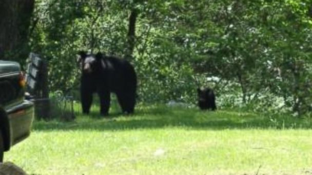 HT bear watch us mar 140526 16x9 608 Black Bear and Cub Drop in at Pennsylvania Birthday Party