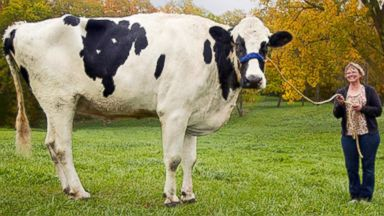 PHOTO: Blosom was posthumously declared the tallest cow ever by Guinness World Records. Blosom stood 6 4. She died in May on her owners farm in Illinois.