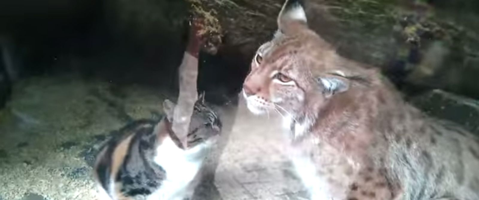 PHOTO: Dusya, the stray cat, and Linda, the European lynx are seen together.