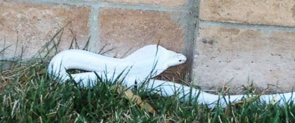 PHOTO: Los Angeles officials are warning residents to look out for an albino cobra on the loose.