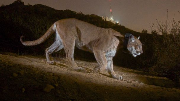 HT cougar jef 140312 16x9 608 Mountain Lion Calls Hollywood Hills Home