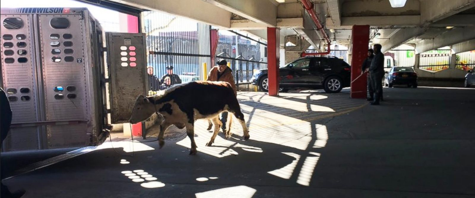 PHOTO:New York City police captured a runaway cow that escaped from an area slaughterhouse, Jan. 21, 2016.