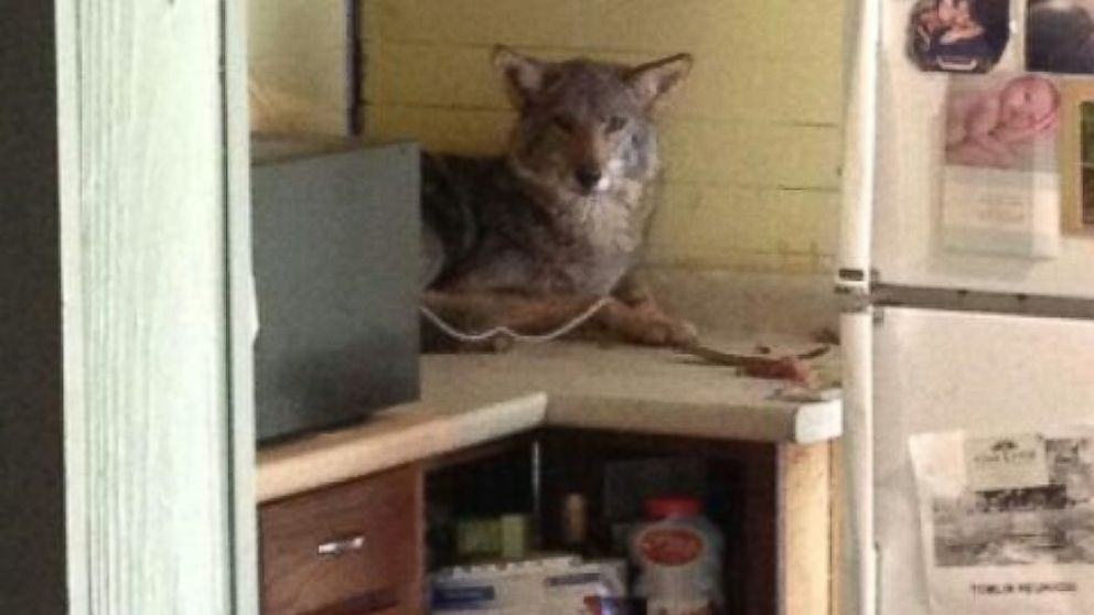 Coyote Makes Itself at Home in Georgia Kitchen - ABC News