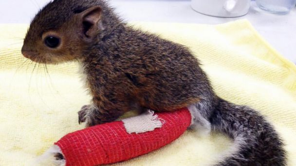 Baby Squirrel Wears Cast For Broken Ankle