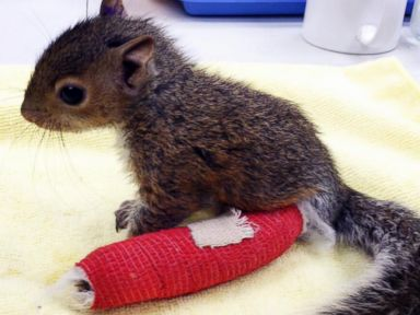 PHOTO: A baby squirrel was nursed back to health by DC CityWildlife, April 17, 2014.