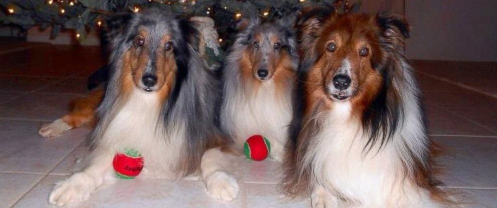PHOTO: Willie, an 11-year-old Shetland Sheepdog missing for six years, is pictured here on the left reunited with his brothers Lucky and Waylon to the right of him in December 2015.