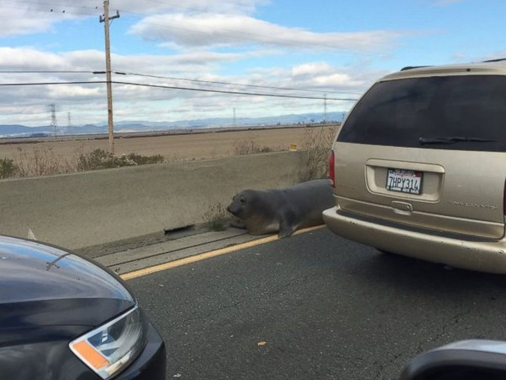 PHOTO: The California Highway Patrol tried to help save a 500-pound elephant seal causing traffic on SR 37E/SR 121 in northern California on Dec. 28, 2015.