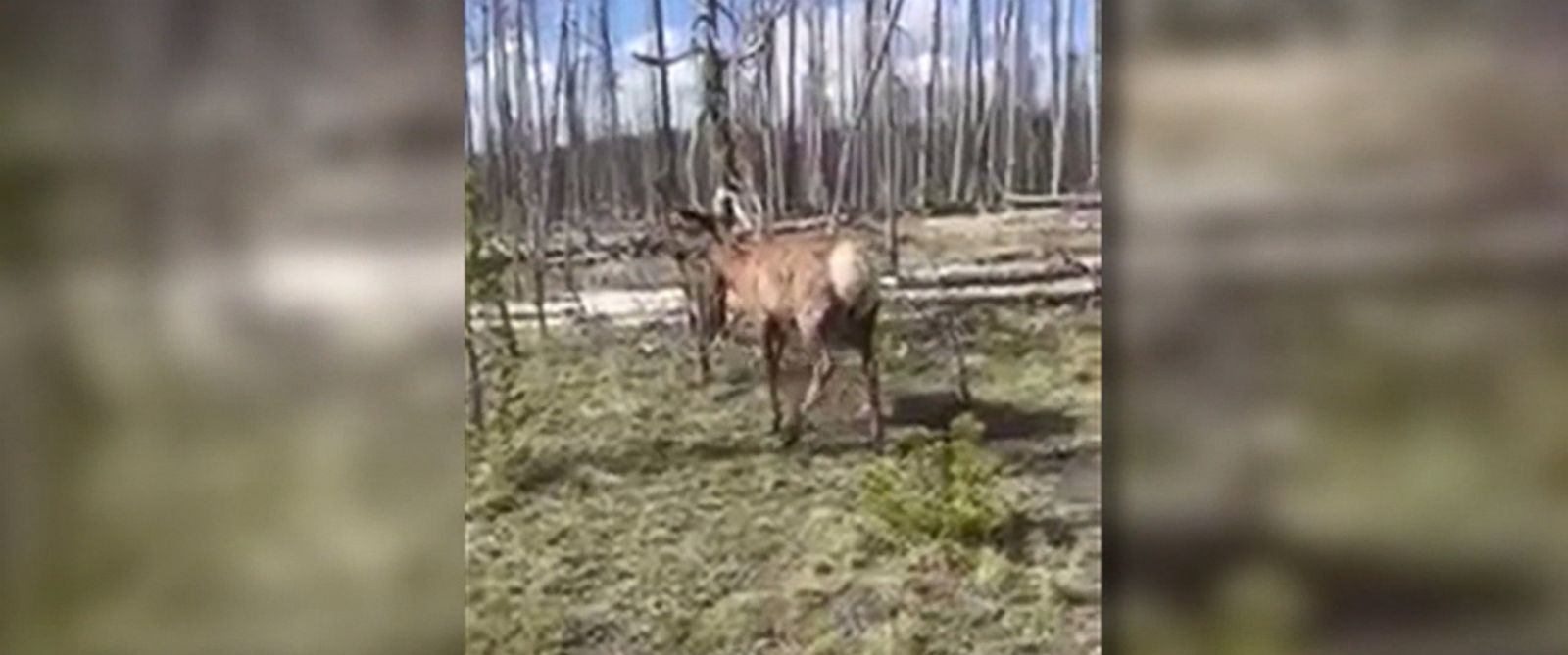 PHOTO: Woman charged by an elk at Yellowstone National Park after inching close to take a good photo of it.