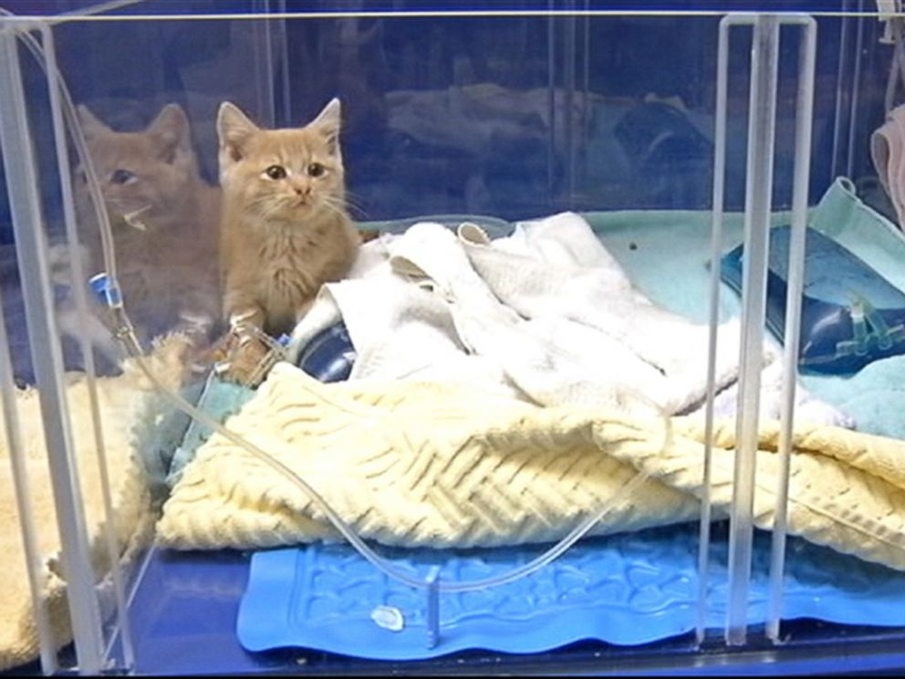 PHOTO: Veterinarian staff members wrapped the kitten in heating pads and injected her with warm IV fluids in an effort to raise its temperature which was below 90 degrees and would not register on a thermometer.