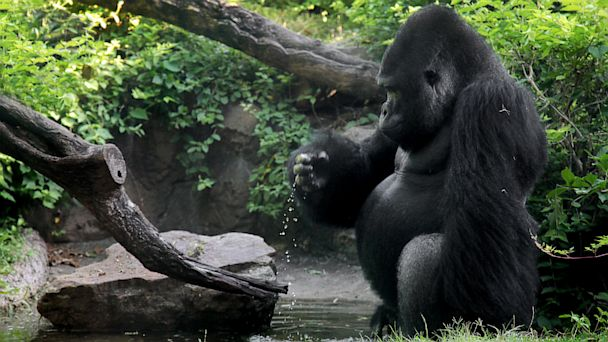 HT gorilla dallas zoo lpl 130923 16x9 608 Anti Social Gorilla Gets a Fresh Start in a New Home