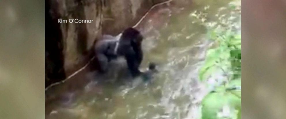 PHOTO: A 400-pound, 17-year-old gorilla named Harambe, was shot and killed after a 4-year-old boy fell into the gorilla enclosure at Cincinnati Zoo and Botanical Garden on May 28, 2016.