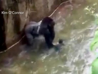 Cincinnati Zoo 'Would Make the Same Decision' to Shoot Gorilla