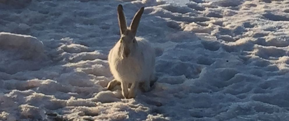 PHOTO: A jackrabbit poses for Straabes camera.