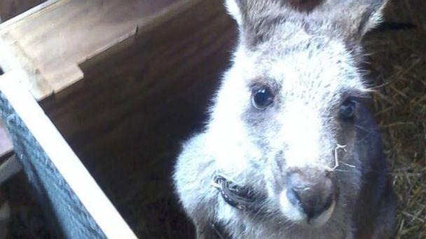 HT kangeroo 1 jt 131202 16x9 608 Pet Kangaroo Discovered After Hopping Away From Owner