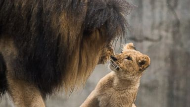 PHOTO: Male lion Zawadi Mungu plays with his cubs for the first time in the Oregon Zoos Predators of the Serengeti habitat.