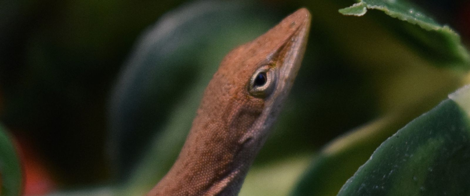 """PHOTO: A lizard found in a kindergarten students homemade salad on Jan. 19, 2016 has become a """"class mascot"""" for a science lab at Riverside Elementary School in Princeton, N.J."""