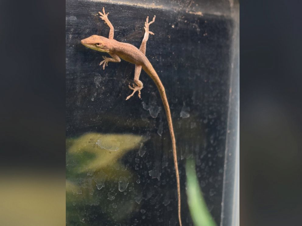 PHOTO: A lizard found in a kindergarten students homemade salad on Jan. 19, 2016 has become a class mascot for a science lab at Riverside Elementary School in Princeton, N.J.