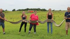 PHOTO: The large Burmese python, over 18 feet long, was caught in Floridas Everglades National Park on July 9, 2015.